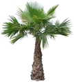 Picture for category Palms