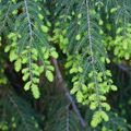 Picture for category Hemlock